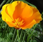 California poppy image