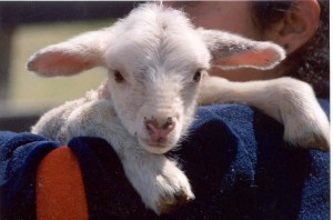 baby_lamb_up_close_photo