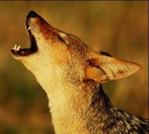 barking jackal